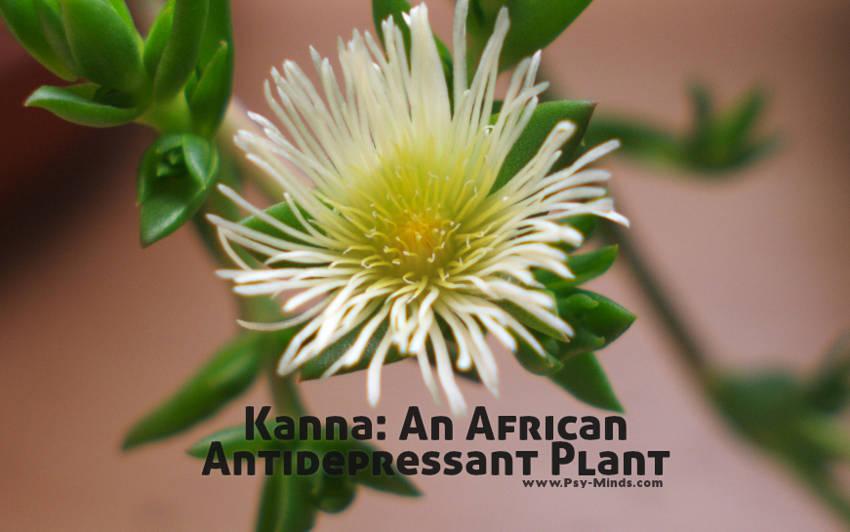 Kanna An African Antidepressant Plant