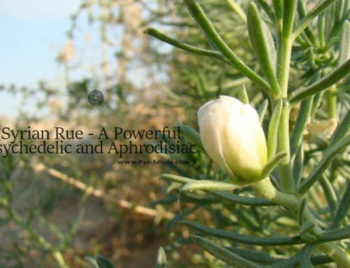 Syrian Rue – A Powerful Psychedelic and Aphrodisiac