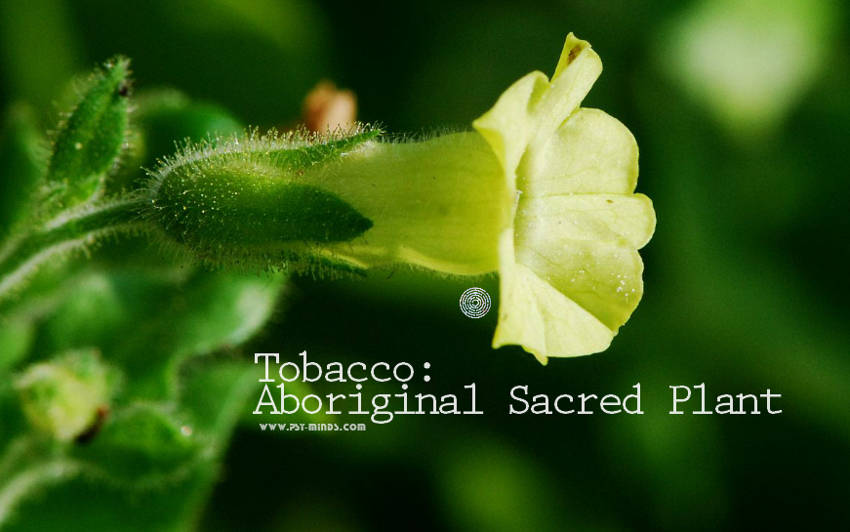 Tobacco Aboriginal Sacred Plant1