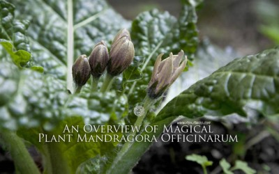 An Overview of Magical Plant Mandragora Officinarum