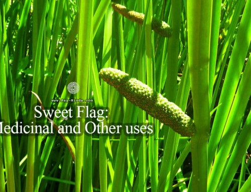 Sweet Flag: Medicinal and Other uses