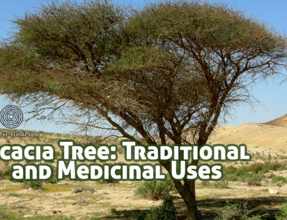 Acacia Tree: Traditional Uses and Medicinal Uses