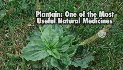 Plantain One of the Most Useful Natural Medicines