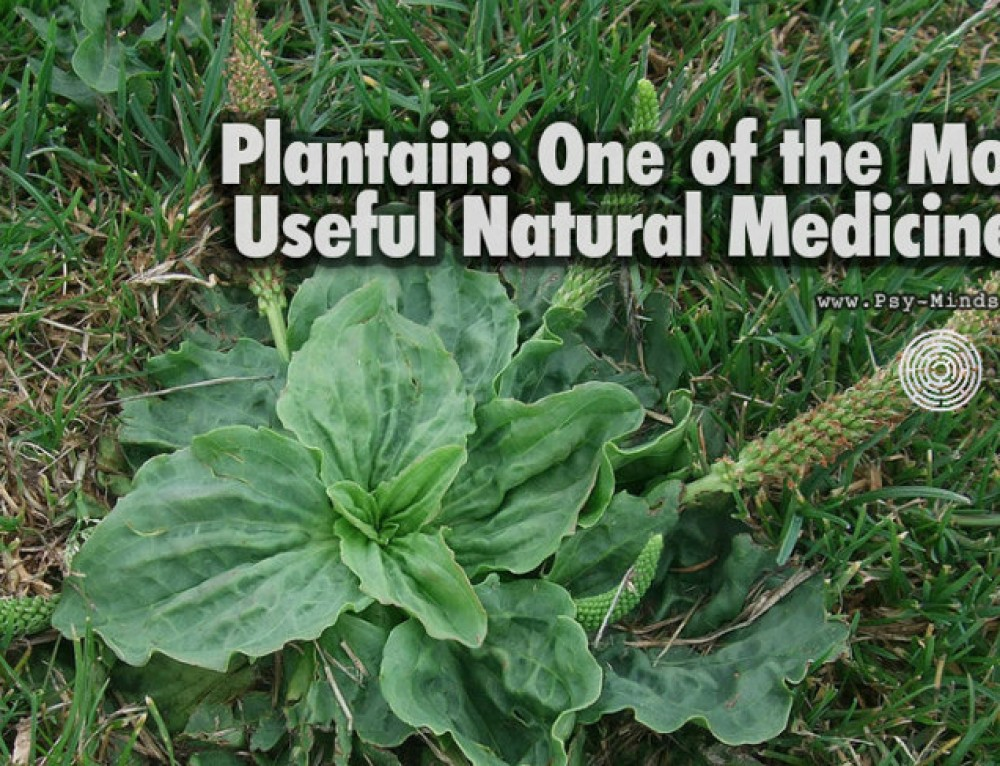 Plantain: One of the Most Useful Natural Medicines