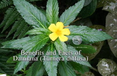 Benefits and Facts of Damiana (Turnera diffusa)