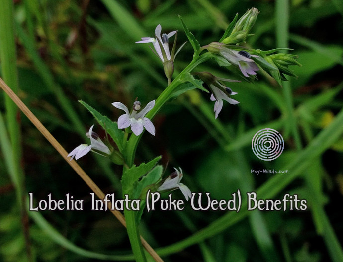 Lobelia Inflata (Puke Weed) Benefits