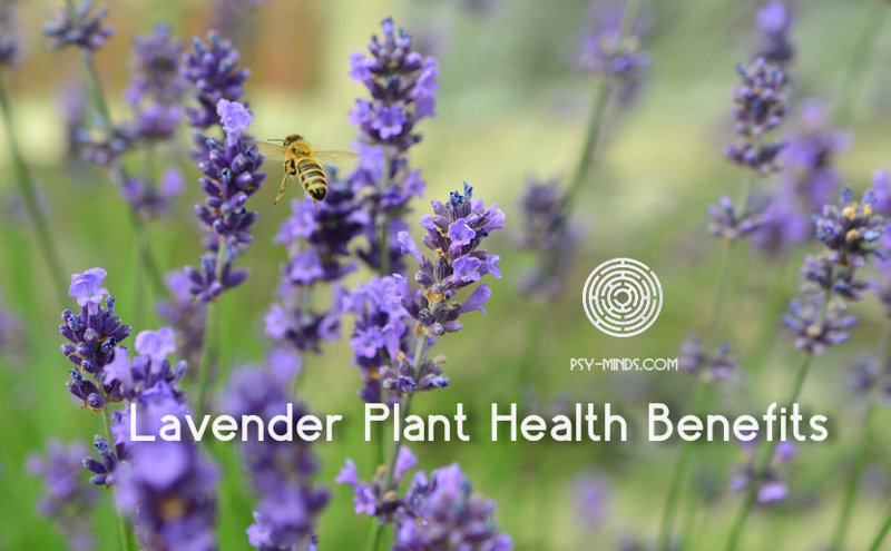 Lavender Plant Health Benefits