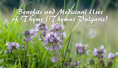 Benefits and Medicinal Uses of Thyme (Thymus Vulgaris)