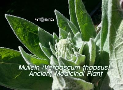 Mullein (Verbascum thapsus) - Ancient Medicinal Plant