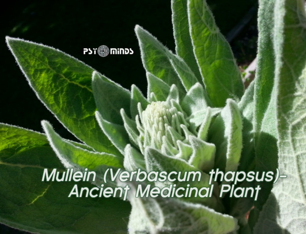 Mullein (Verbascum thapsus): Ancient Medicinal Plant