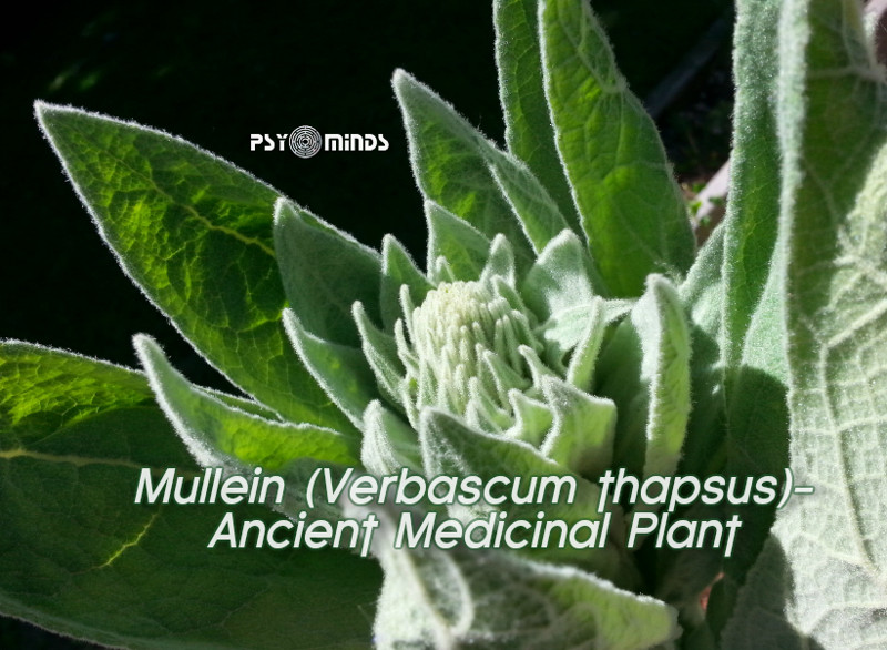 Mullein (Verbascum thapsus) - Ancient Medicinal Plant