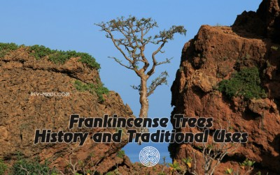 Frankincense Trees History and Traditional Uses