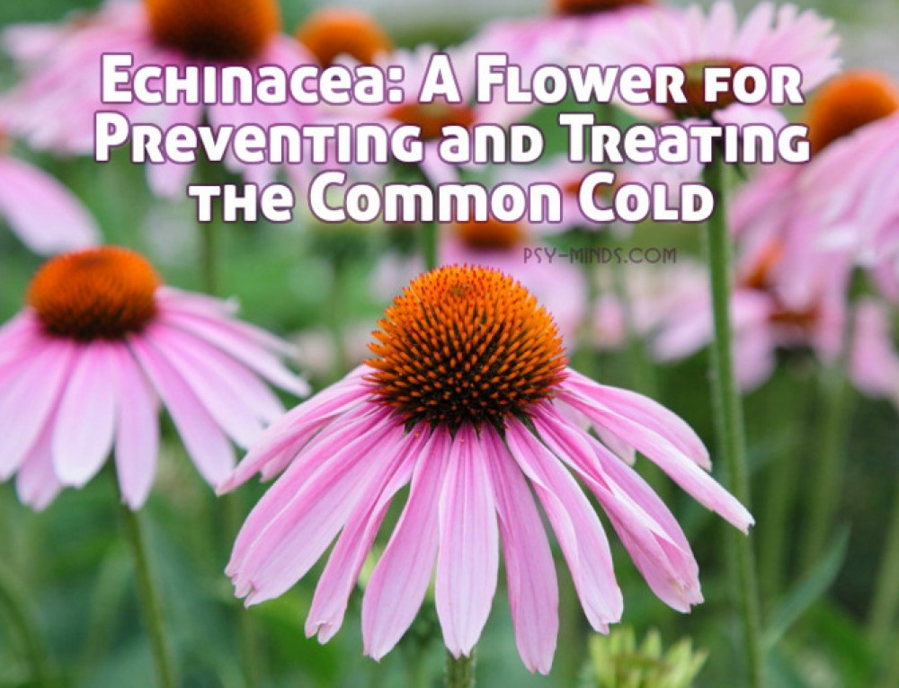 Echinacea: A Flower for Preventing and Treating the Common Cold