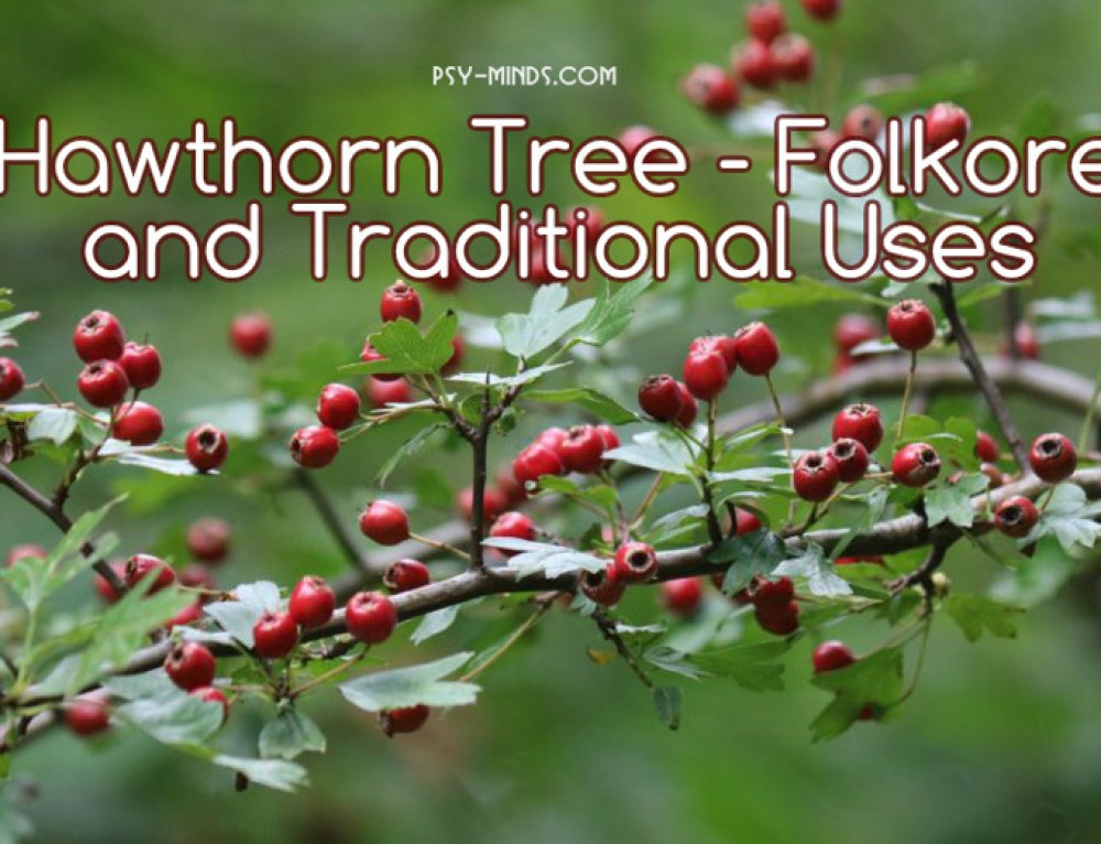 Hawthorn Tree – Folkore and Traditional Uses