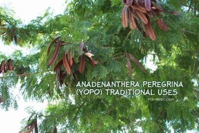 Anadenanthera Peregrina (Yopo) Traditional Uses